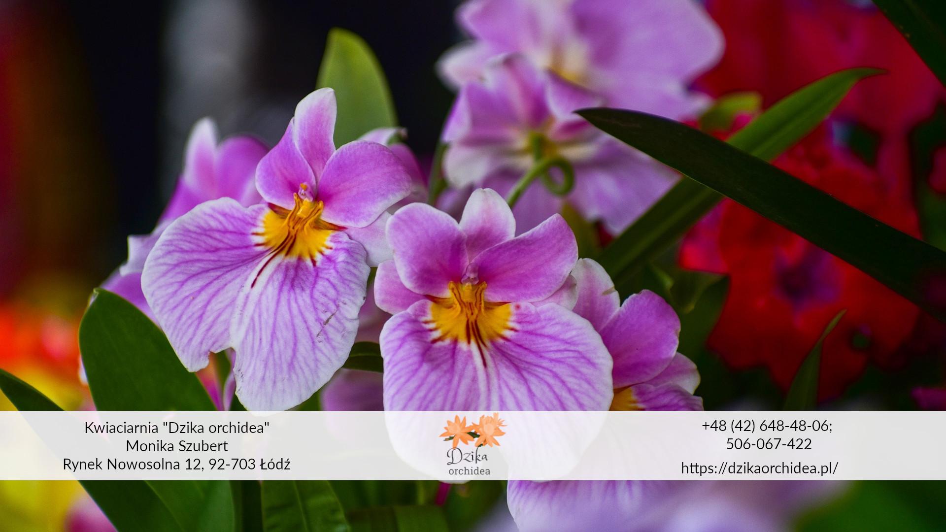 Doniczkowe Kwiaty Na Walentynki Dzika Orchidea